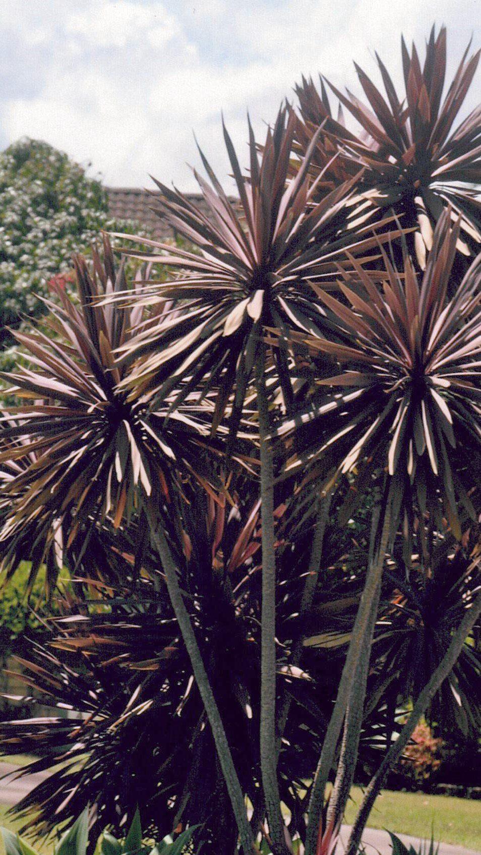 Cordyline australis cv purpurea - ABCeeds